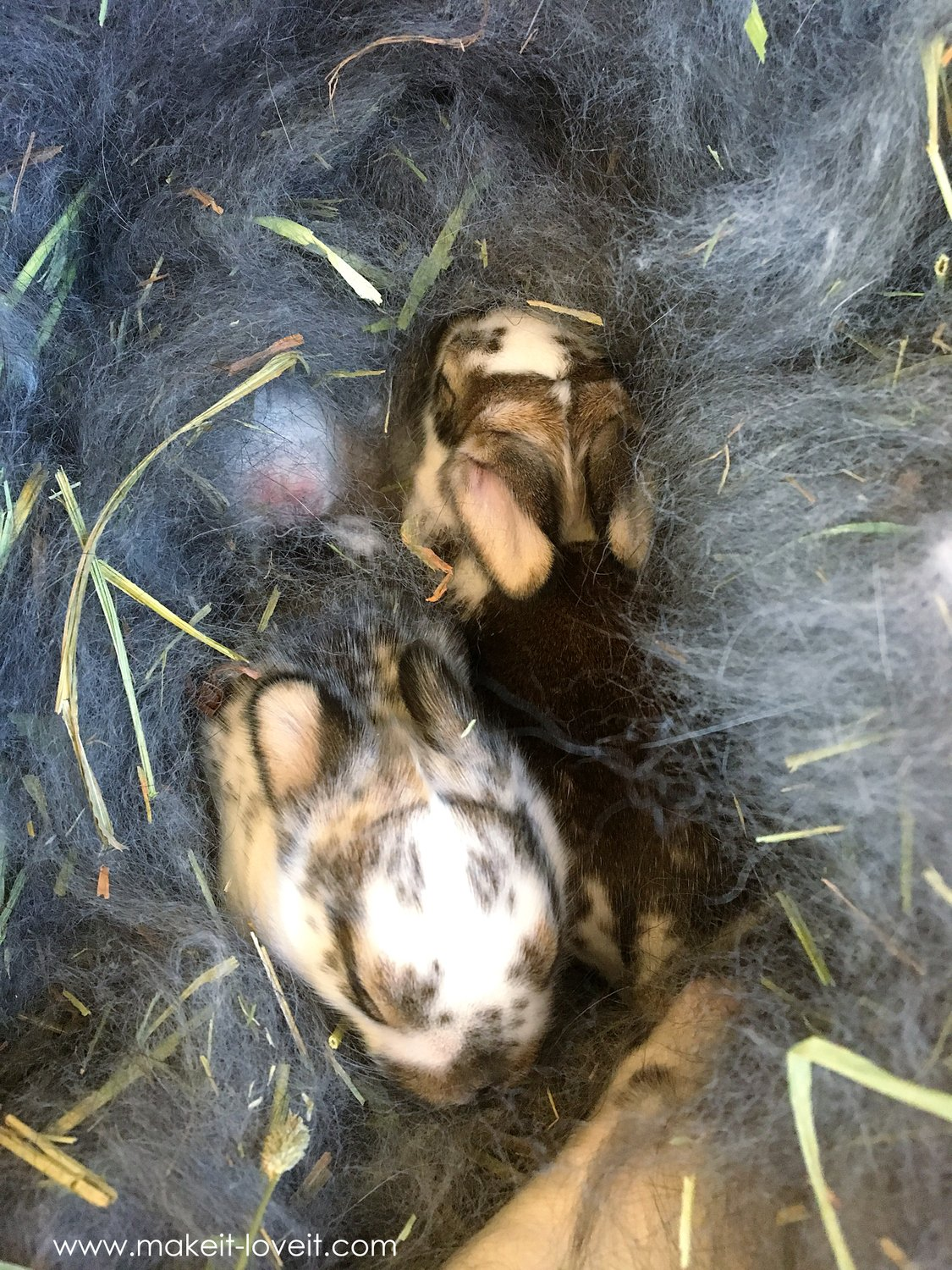 when your pet bunny has babies who survive make it and